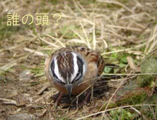hojiroatama